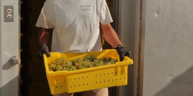 Removing grapes from the chiller