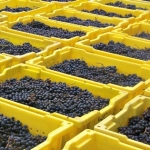 Lugs of Grapes at Hickory Hill Vineyards