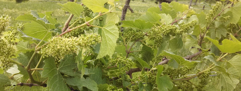 Fruit Forming at Hickory Hill Vineyards
