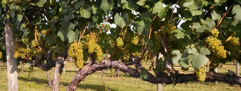 Vidal at Hickory Hill Vineyards