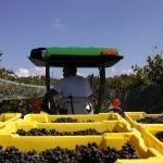 Harvest at Hickory Hill Vineyards