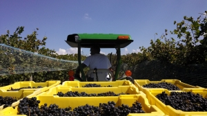 Harvest at Hickory Hill Vineyards