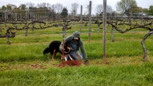 Working on the Vines at Hickory Hill Vineyards