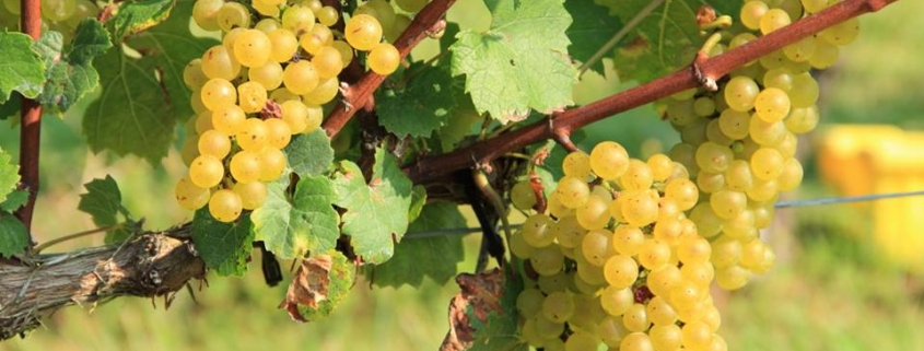 Hickory Hill Vineyards Chardonnay
