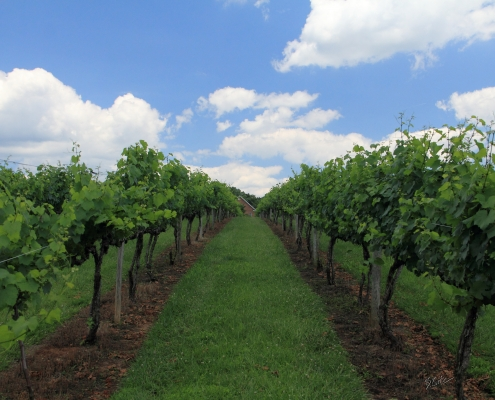 Hickory Hill Vineyards in Summer
